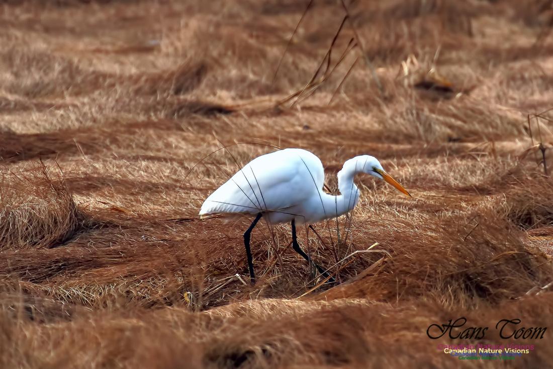 Great Egret 1004