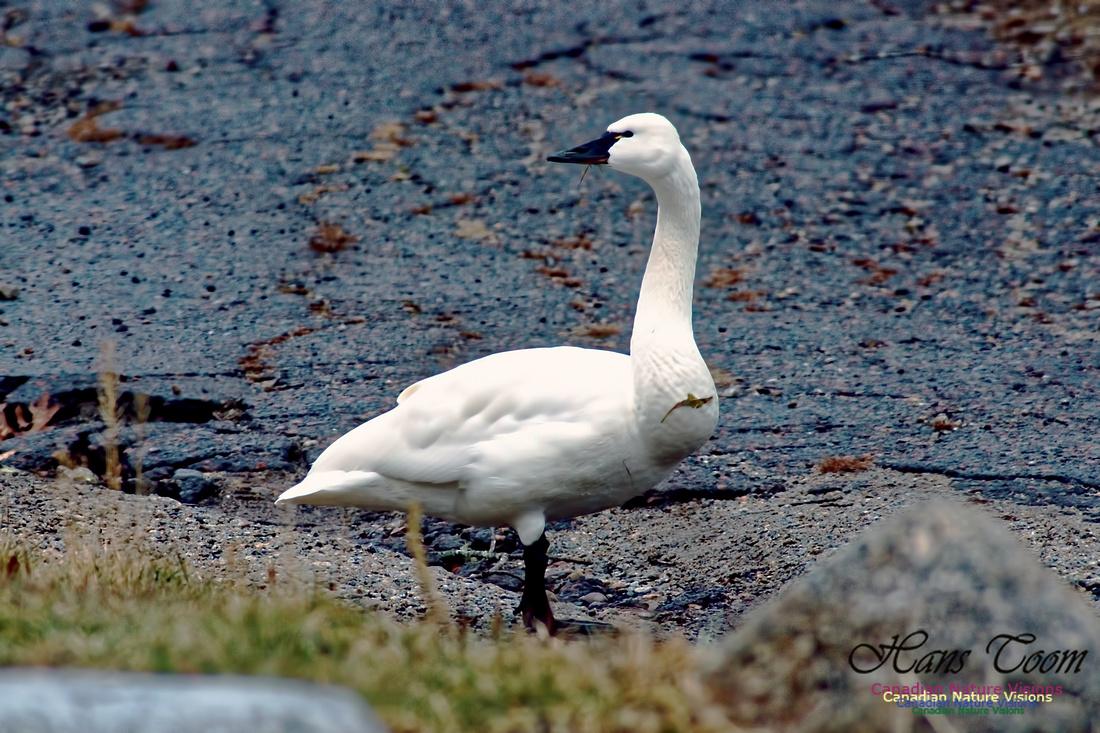 Tundra Swan 3