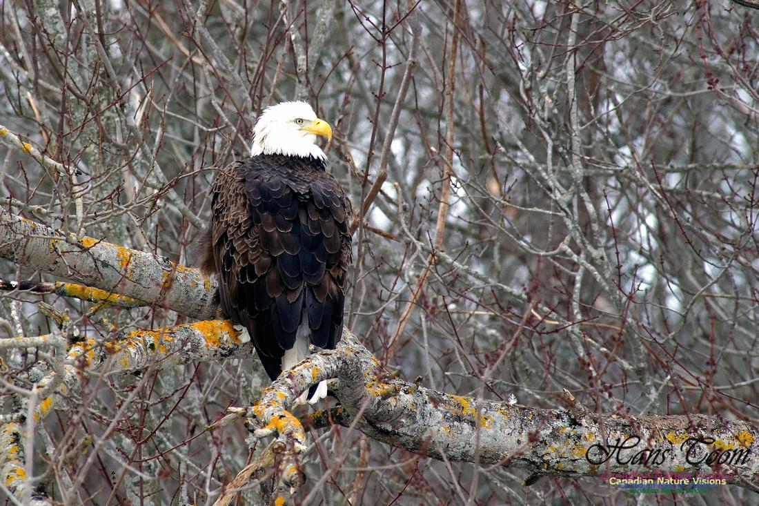 Bald Eagle Resting 1