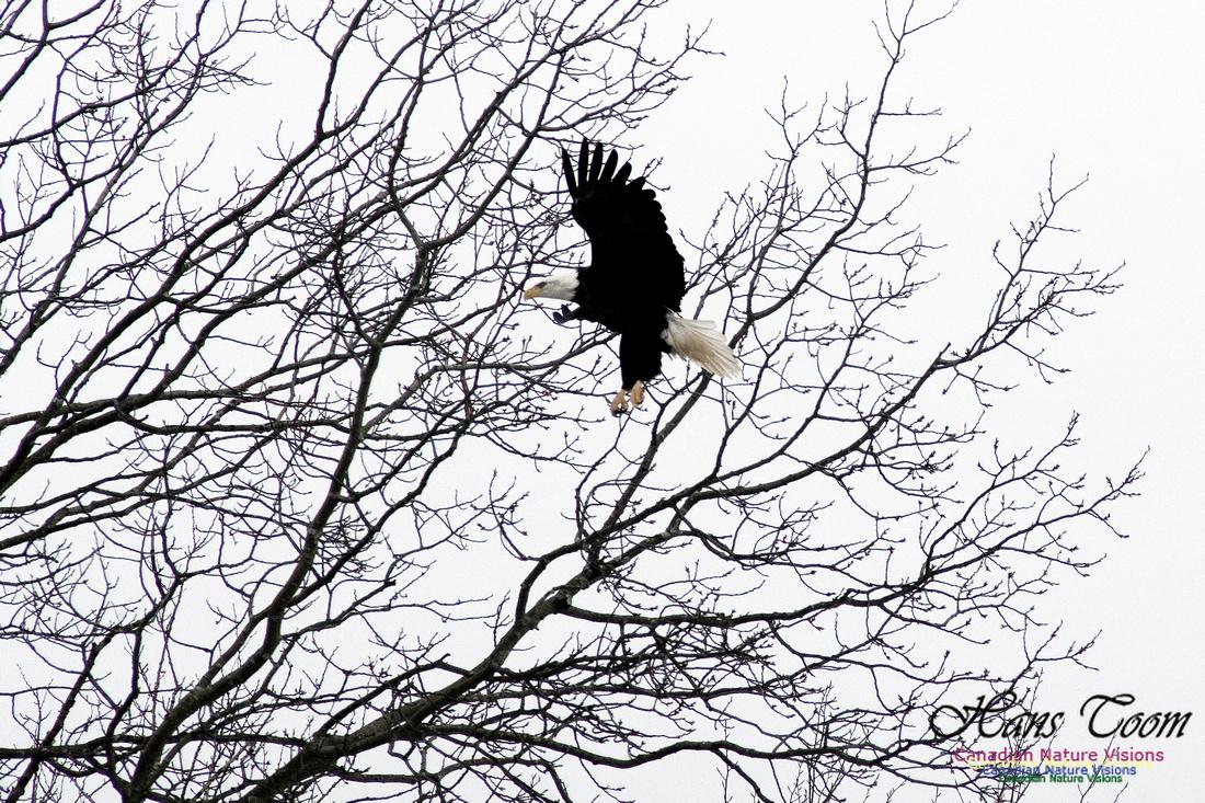 Bald Eagle Landing in Tree 1