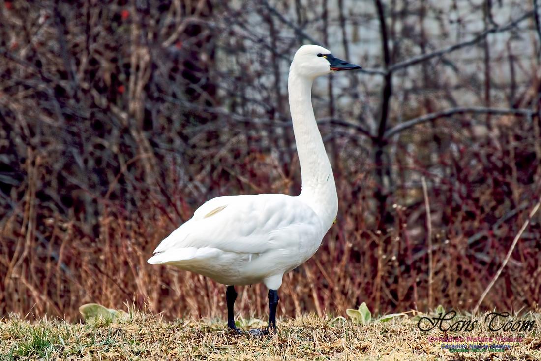 Tundra Swan 9