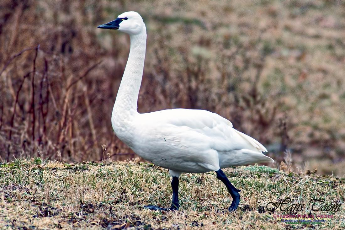 Tundra Swan 8