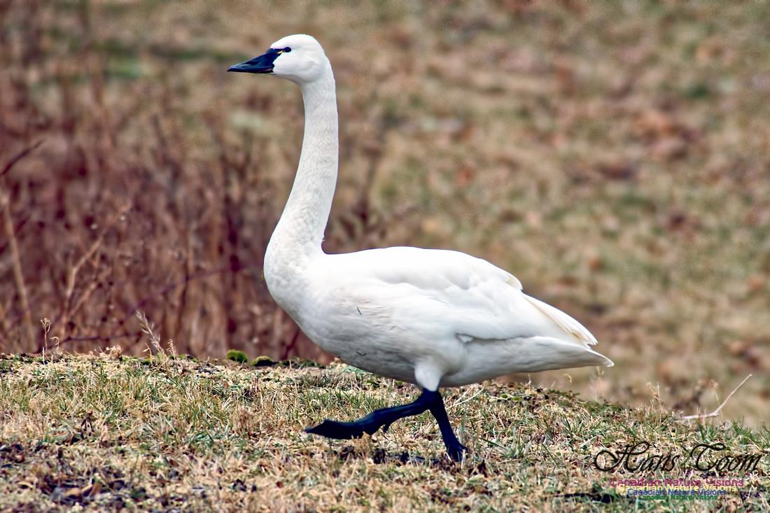 Tundra Swan 7