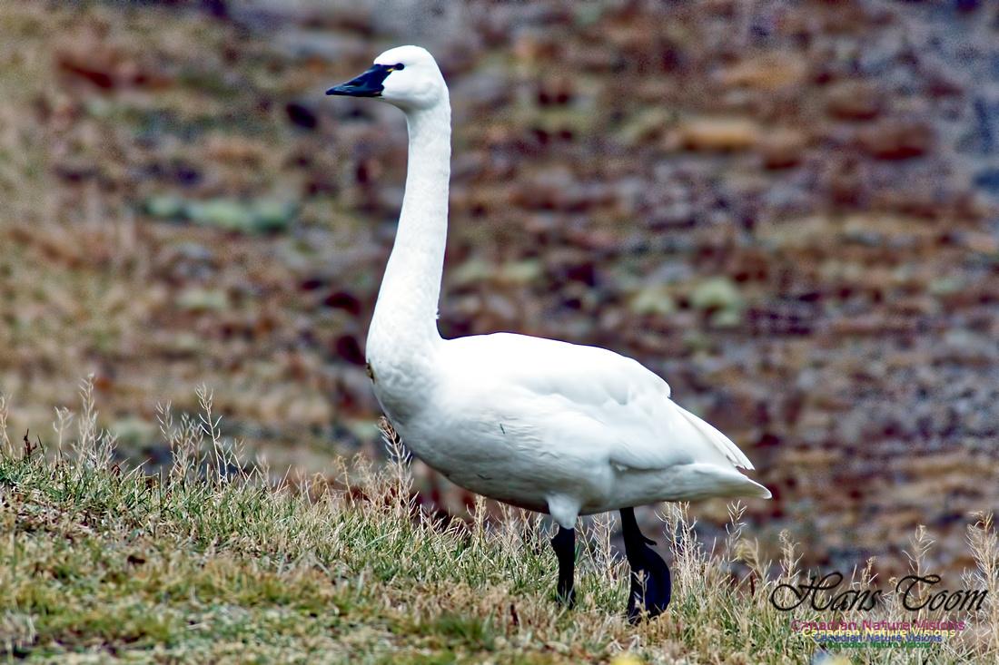 Tundra Swan 5