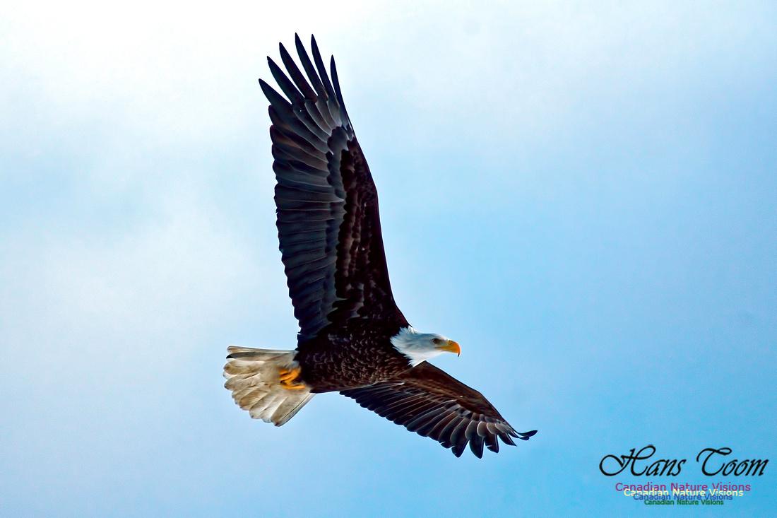 Bald Eagle 8