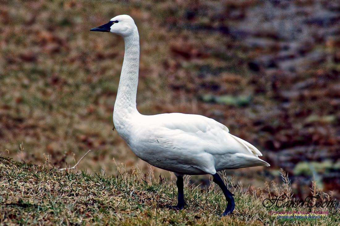 Tundra Swan 14