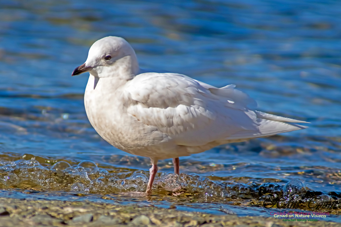 Iceland Gull 2000