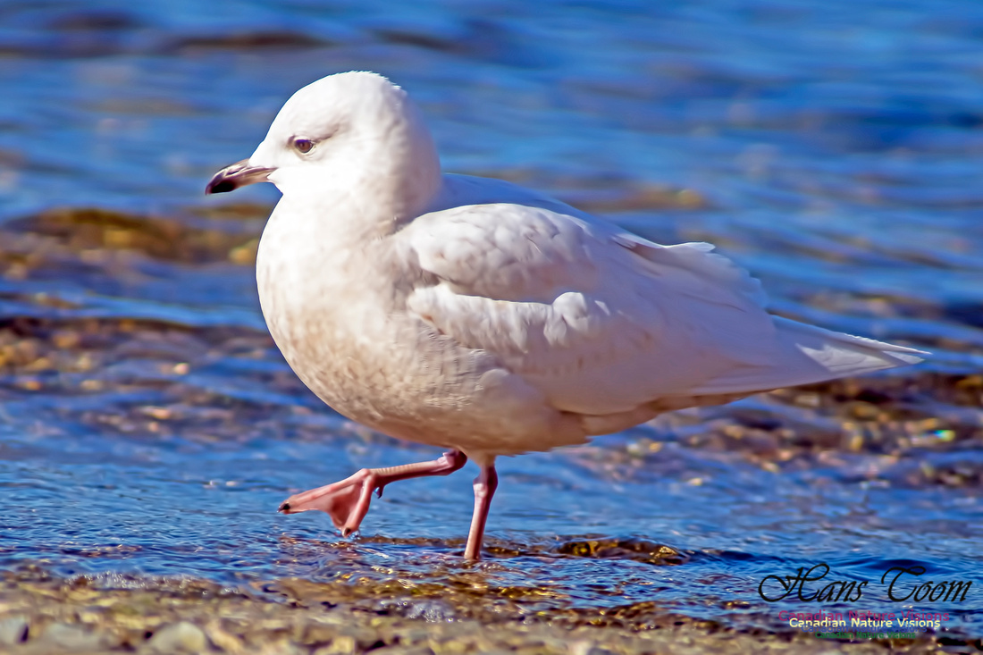 Iceland Gull 2001
