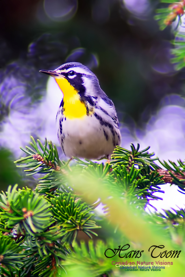 Yellow-throated Warbler 10