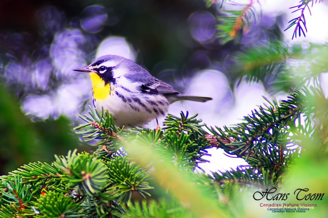 Yellow-throated Warbler 9