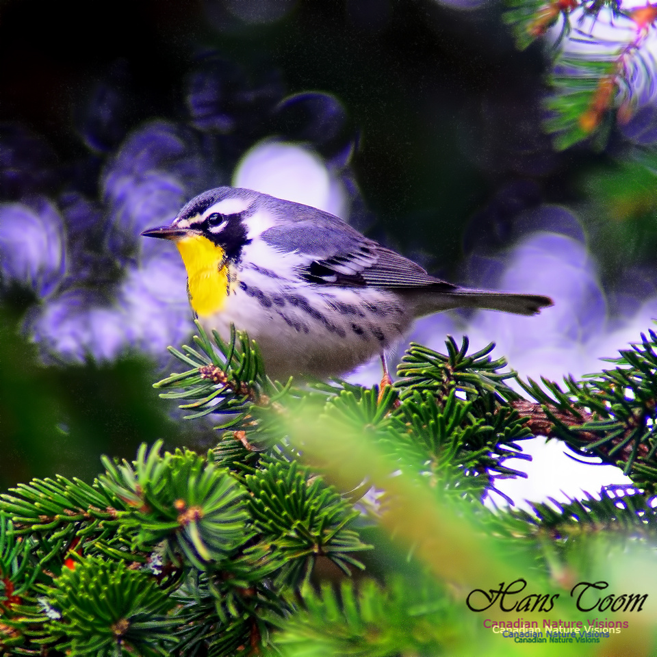 Yellow-throated Warbler 11