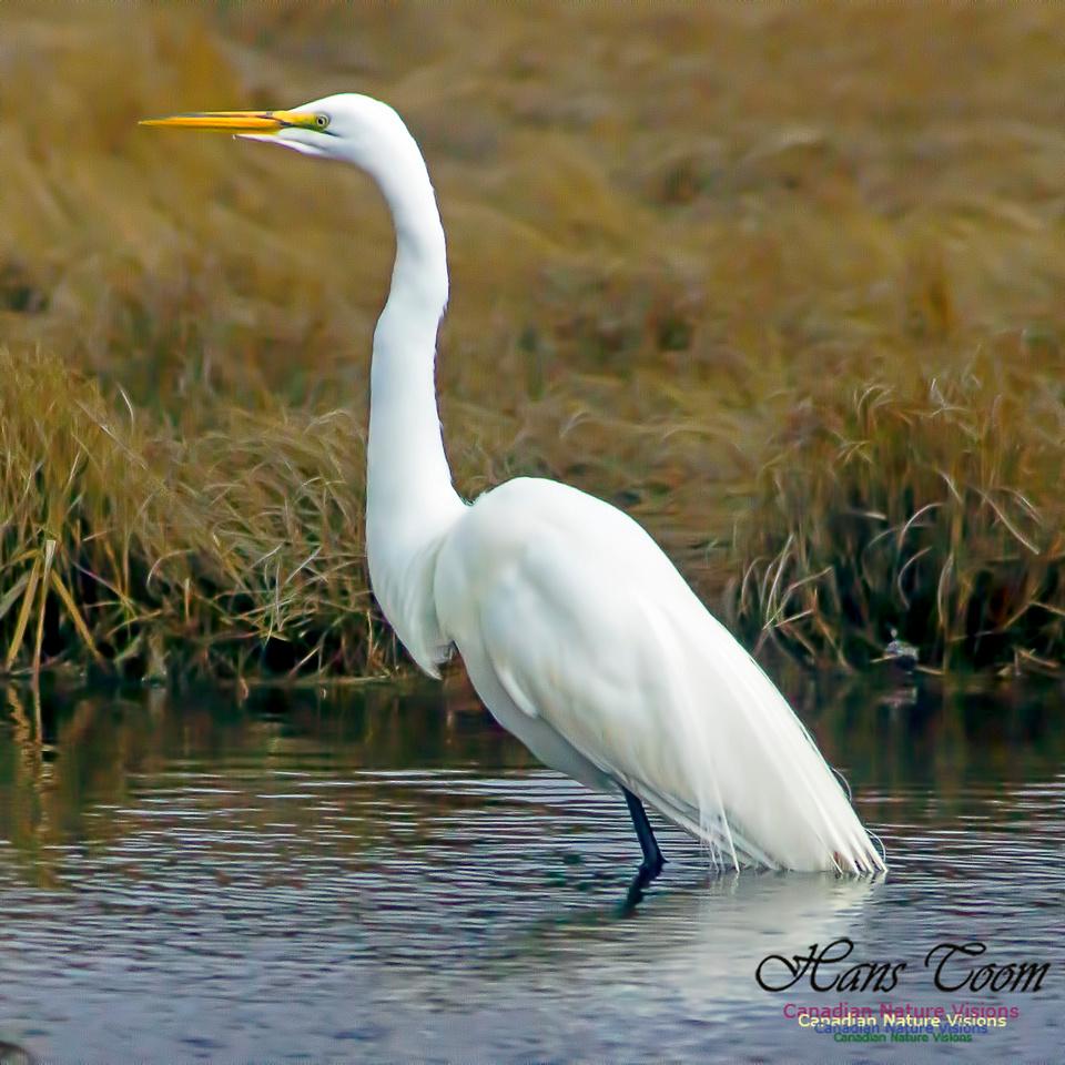 Great Egret 9
