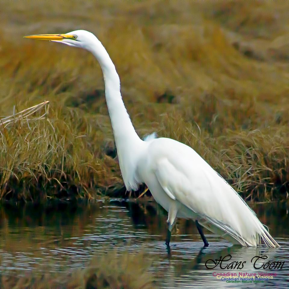 Great Egret 7