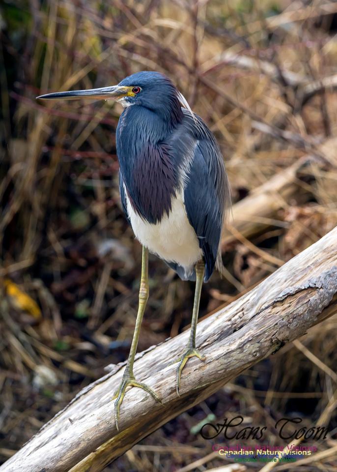 Tricoloured Heron 21
