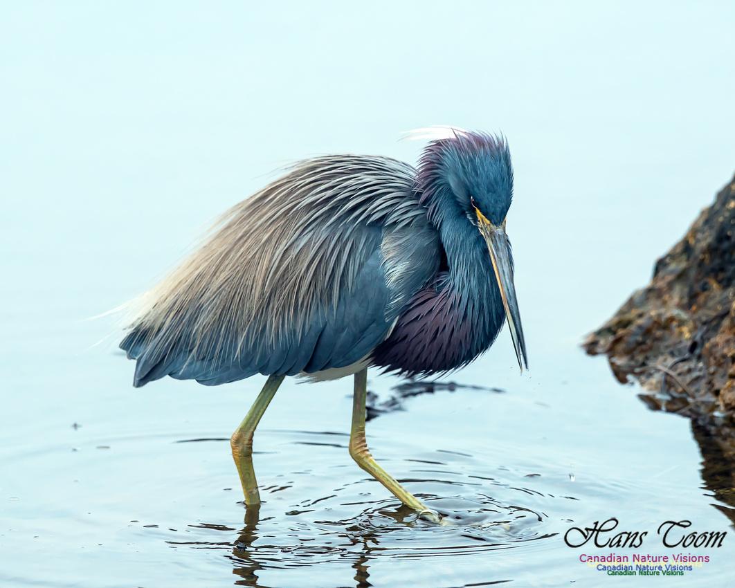 Tricoloured Heron 54