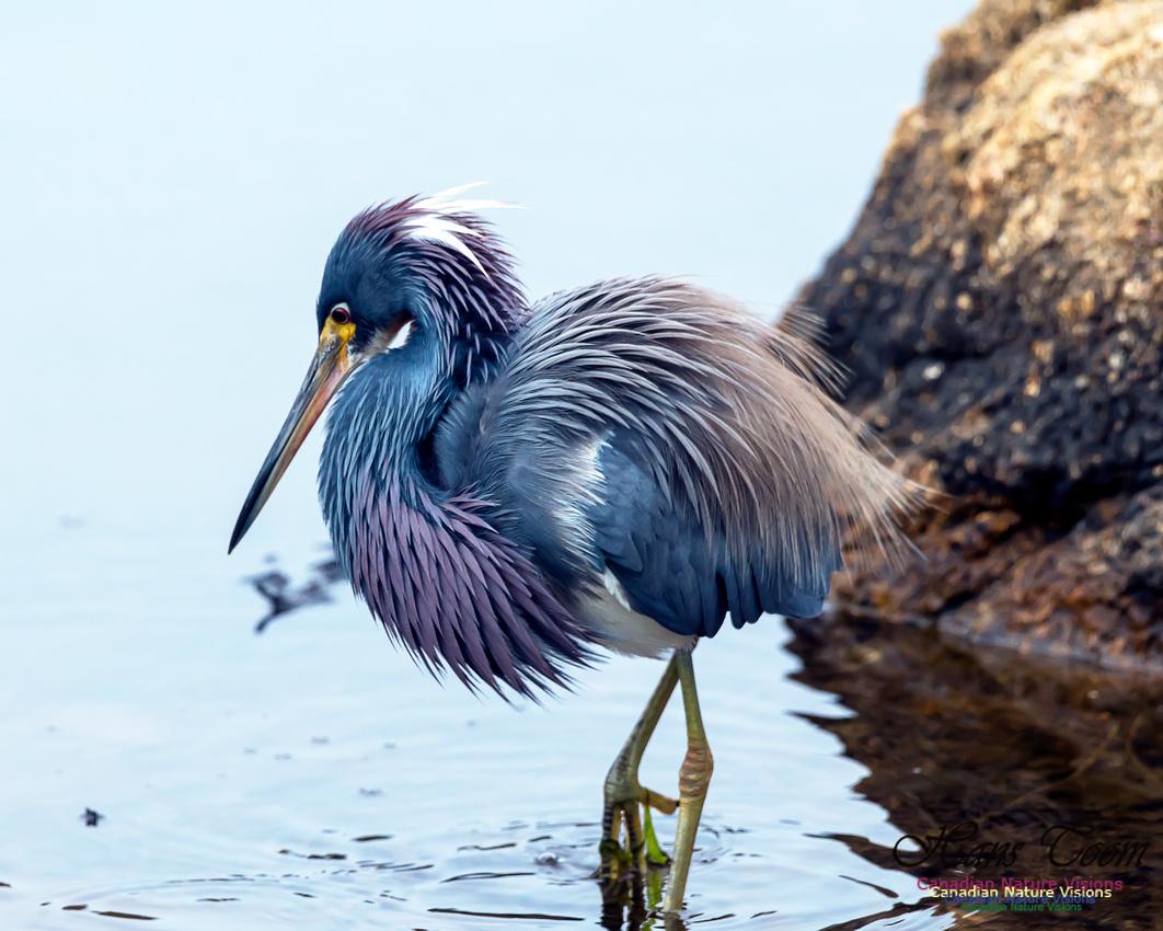 Tricoloured Heron 53