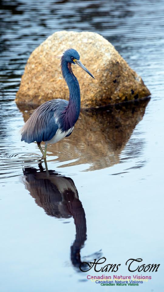 Tricoloured Heron 65
