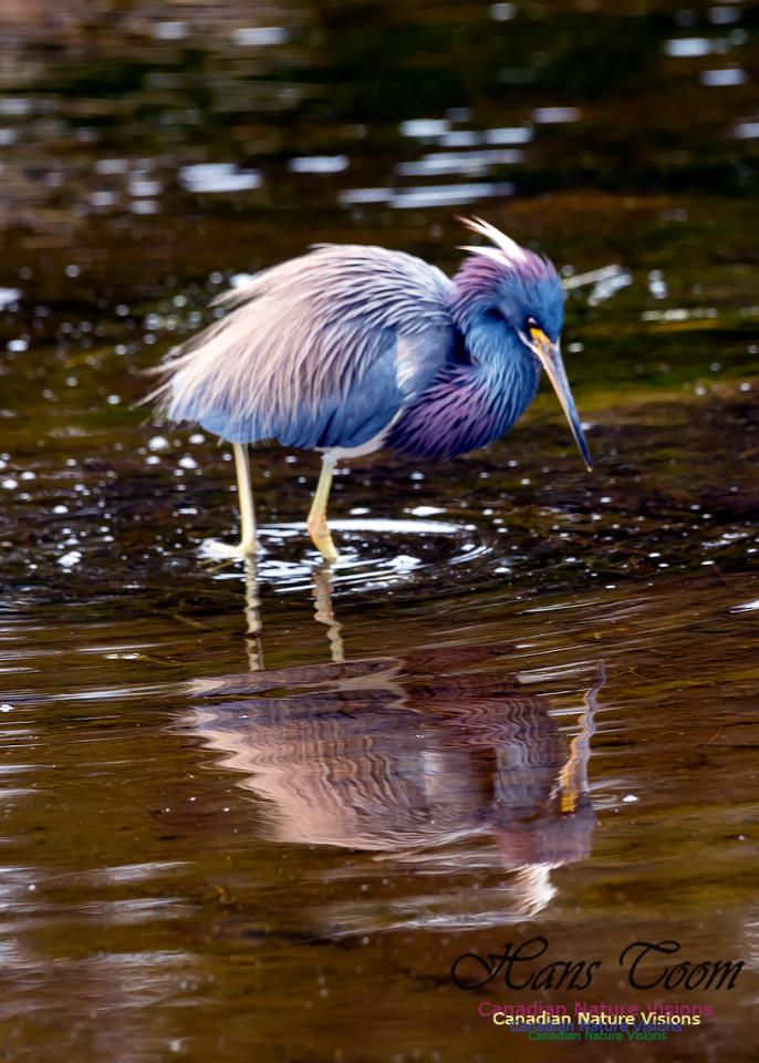 Tricoloured Heron 66
