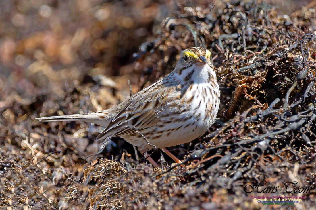 Ipswich Sparrow 11