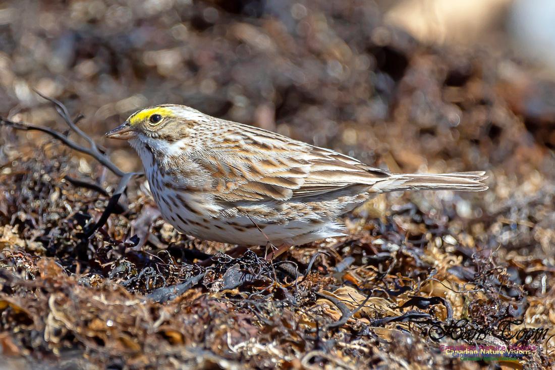 Ipswich Sparrow 9