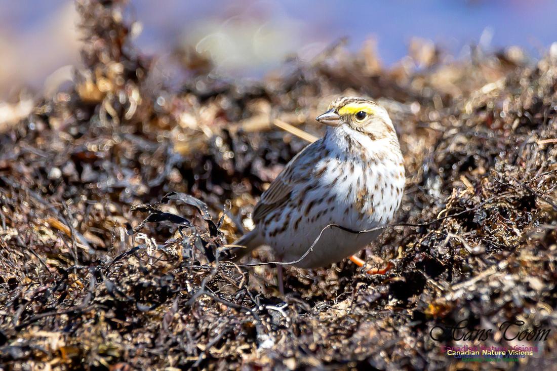 Ipswich Sparrow 25