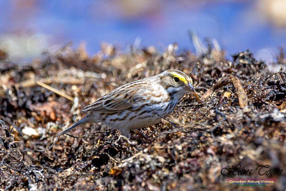 Ipswich Sparrow 23