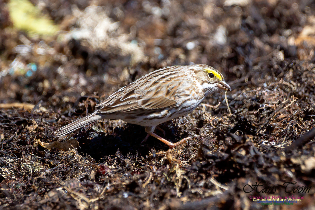 Ipswich Sparrow 17