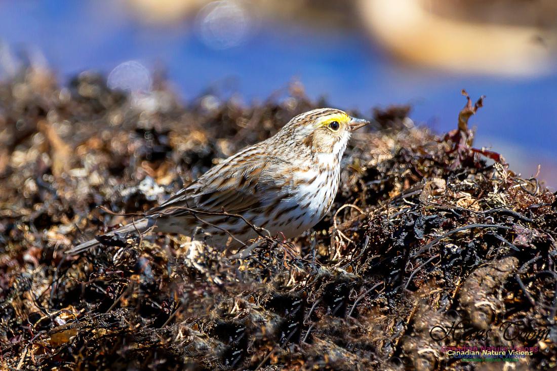 Ipswich Sparrow 16