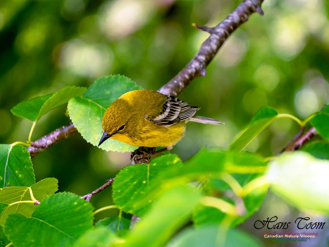 Pine Warbler 6