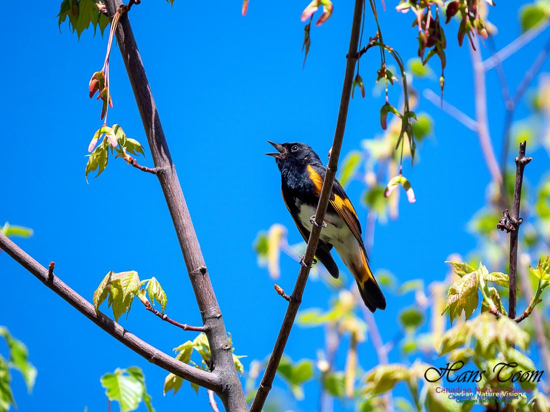 American Redstart 5