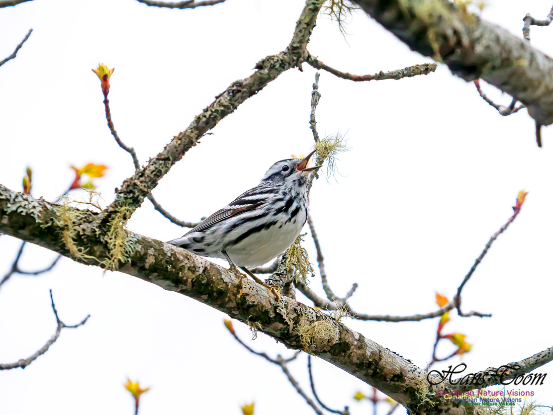Black-and-White Warbler 3