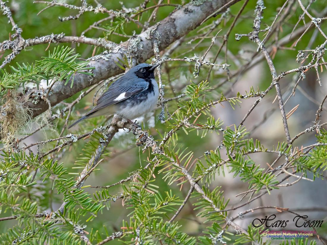 Black-throated Blue Warbler 1