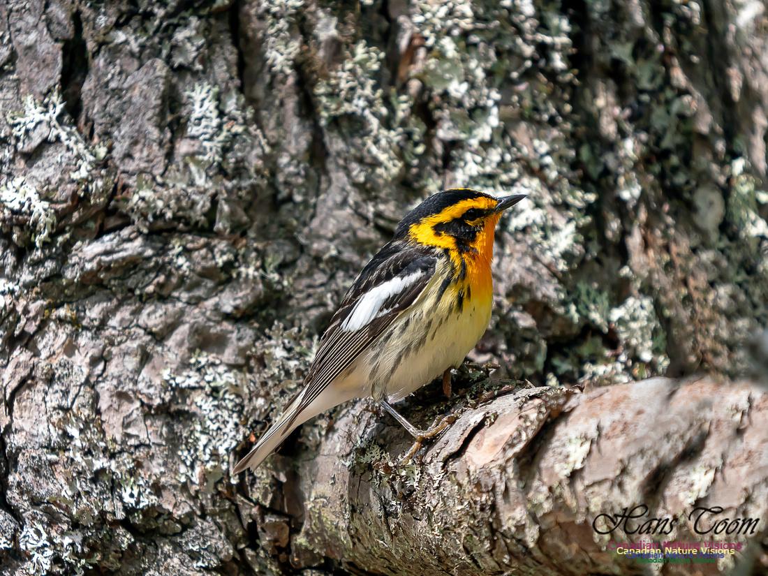 Blackburnian Warbler 3