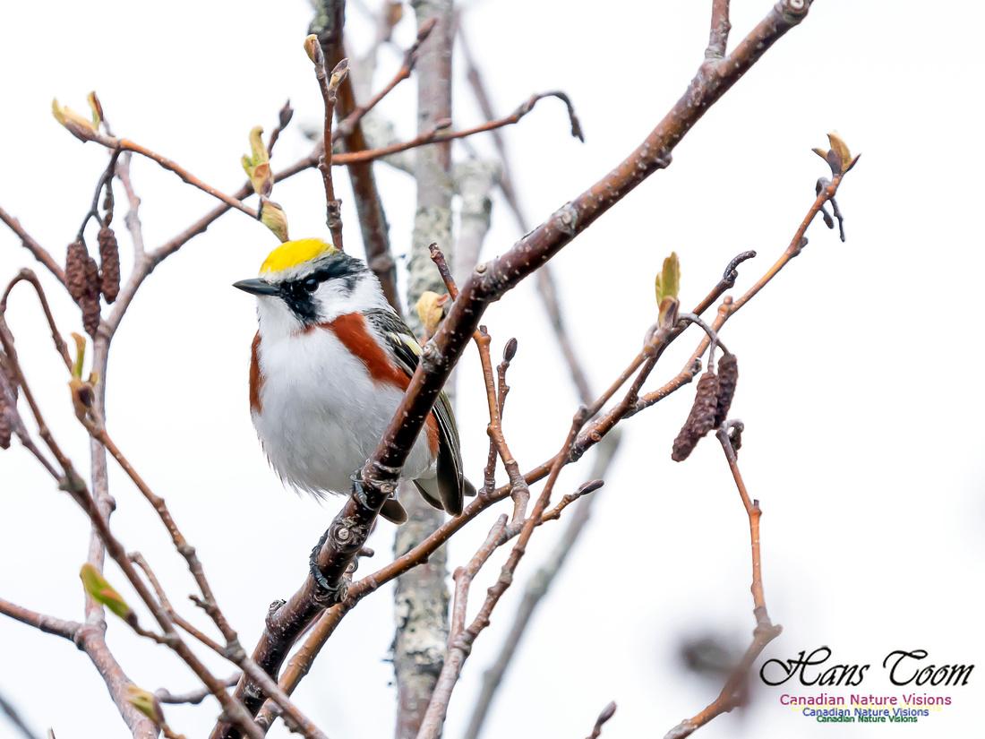 Chestnut-sided Warbler 1