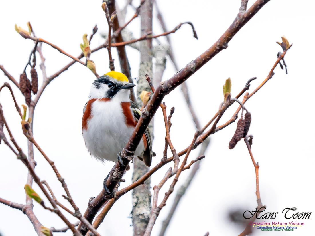 Chestnut-sided Warbler 2