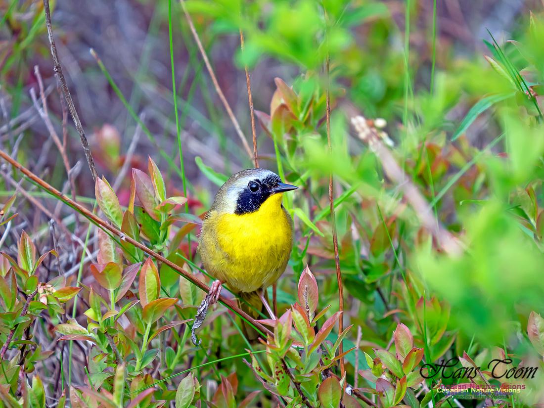 Common Yellowthroat 3