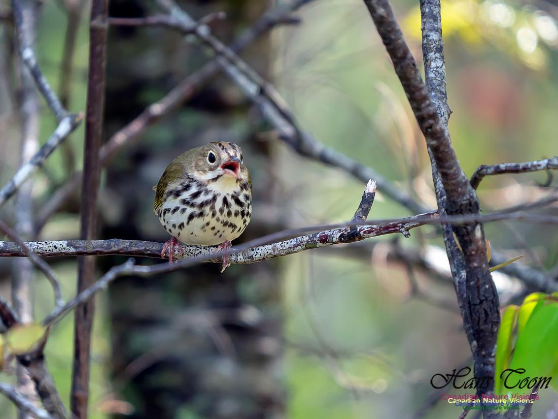 Ovenbird 4