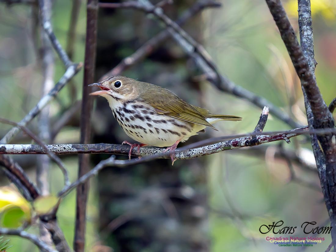 Ovenbird 5