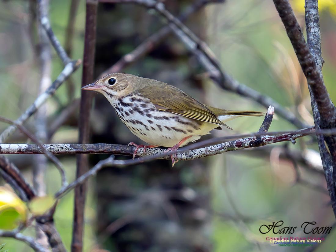 Ovenbird 6
