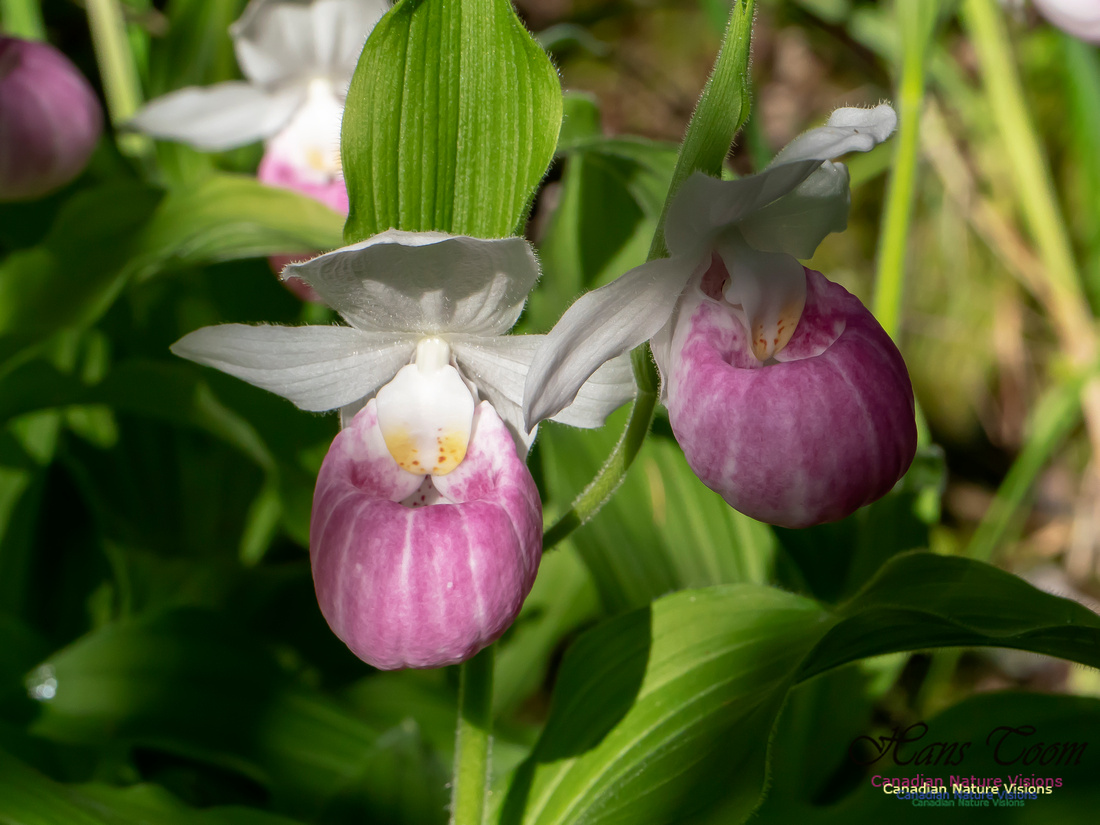 Showy Lady's Slipper Orchid 2018 16