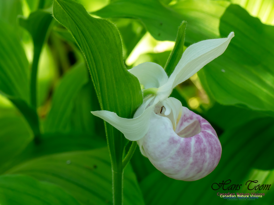 Showy Lady's Slipper Orchid 2018 17