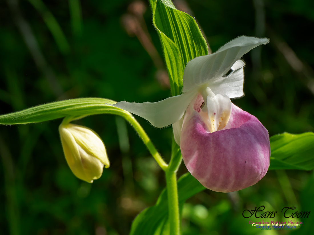 Showy Lady's Slipper Orchid 2018 1