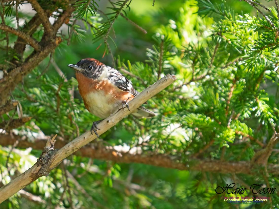Bay-breasted Warbler 12