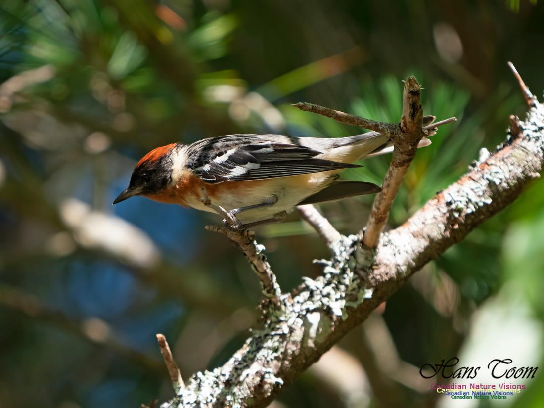 Bay-breasted Warbler 15