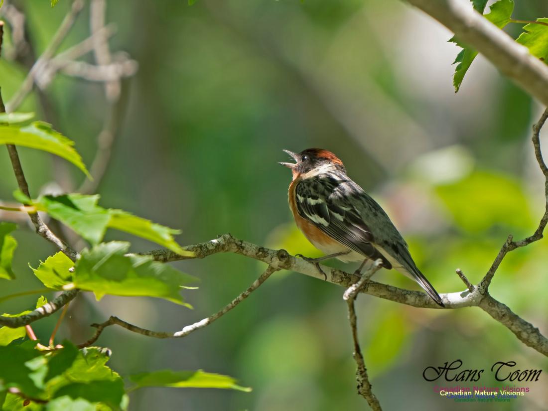 Bay-breasted Warbler 2