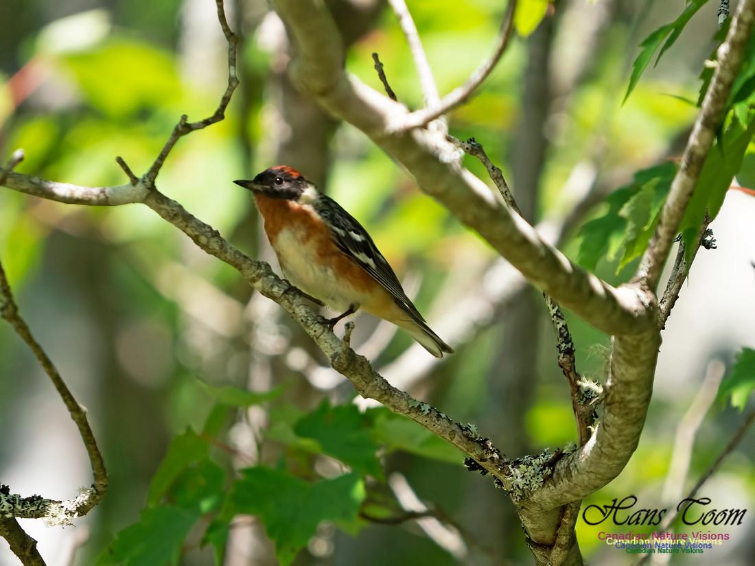 Bay-breasted Warbler 3