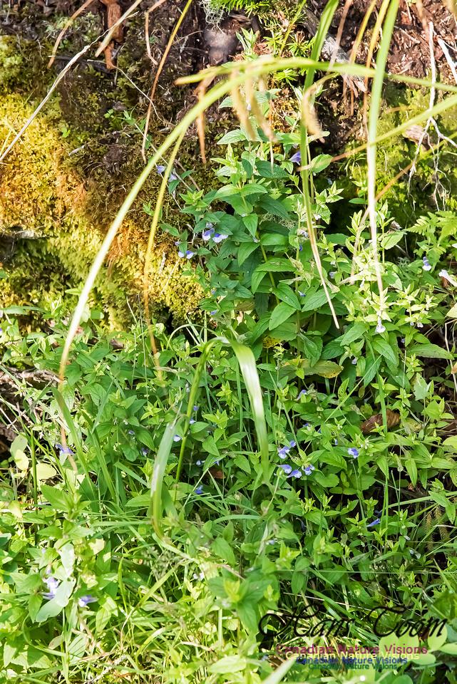 Marsh Skullcap(Scutellaria galericulata)