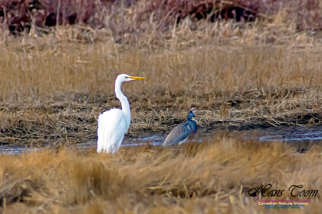 Tricoloured Heron and Great Egret 1