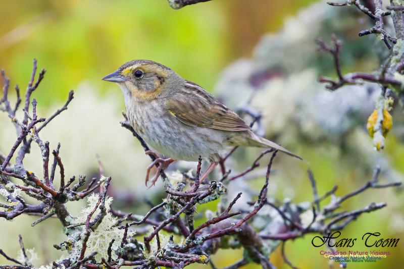 Nelson's Sparrow 1