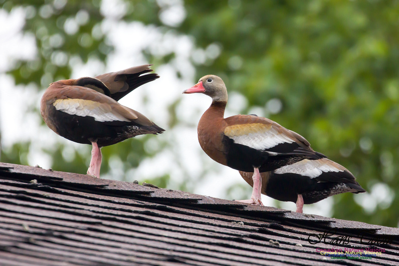 Black-bellied Whistling Duck 4
